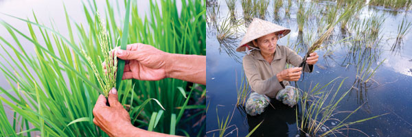 Rice farmer Do Thi Hai and Phan Van Giang checking paddy in a plantation in the Mekong Delta